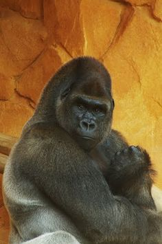 Discover the world through photos. Regard Animal, Silverback Gorilla, King Kong, Lorraine, Clay Art, Monkeys, Great Artists, Animal Pictures, Creatures