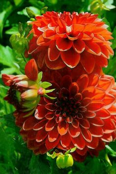 They bloom from mid Summer to the first frost. Dahlia Flower, Butterfly Flowers, All Flowers, Exotic Flowers, Orange Flowers, Pretty Flowers, Beautiful Flowers Garden, Amazing Flowers, Beautiful Gardens