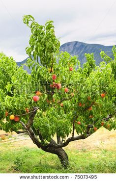 Google Image Result for http://image.shutterstock.com/display_pic_with_logo/56478/56478,1302498256,1/stock-photo-peach-tree-with-ripe-fruit-in-okanagan-valley-british-columbia-canada-75073495.jpg
