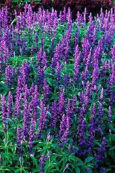 Garden centers typically stock many varieties of sage (Salvia), including shrub and perennial forms suitable for street-side gardens. Flowers are blue, white, red, or purple, like S. farinacea 'Victoria' (shown). Many sages stay under 18 inches and can be coaxed to bloom through October if you cut back plants after the first wave. Likes sun and thrives with little water. Zones vary by variety.