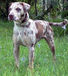 Catahoula Leopard Dog. I want this dog!!!!!!