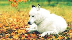 Animals in Fall | nature , autumn , animals , dogs , husky wallpapers    <3