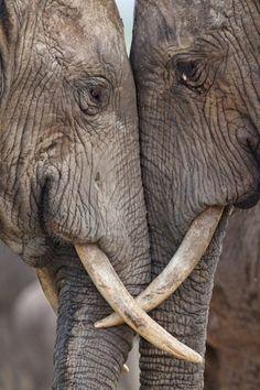 old elephants in love