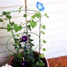 Morning Glory Blue Heaven #botanicalinterests #selfsown