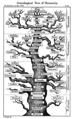 Human evolution tree | Flickr - Photo Sharing!