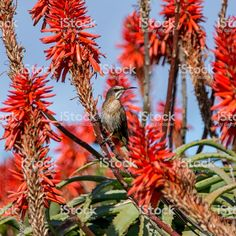 Image result for bird on red fynbos Bird, Plants, Image, Birds, Plant, Planets