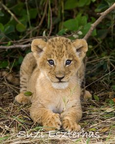 Safari Nursery Decor, LION BABY Photo, 8 X 10 Print, Baby Animal Photograph, Wall Art, Baby Nursery Decor, African Wildlife, Nature, Cub