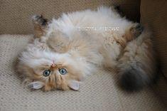 Reputable Missouri Persian cat breeder - CHRISTYPAW PERSIANS Teacup Persian Kittens, Persian Kittens For Sale, Persian Cats, Kitten For Sale, Kittens Cutest, Cute Cats, Funny Cats, Persian Cat Breeders, Cat Emoji
