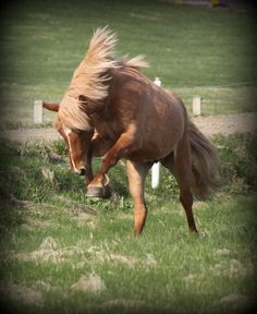 Álfarinn :) Icelandic horse