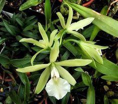 Orchid Hybrid: Encyclia adenocaula x Prosthechea mariae. - Copyright © 2005 Asociación Mexicana de Orquideología, A.C.
