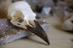 I like this proportion of beak to skull, and that the beak is black. i think this is a crow skull.