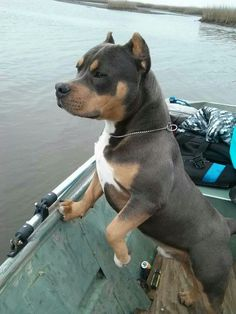 Blue tri colored American Bully He is beautiful!! I want one so bad!