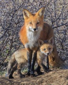 "A Red Fox Mother ~ With Her Young ""Kit.""      (Photo By: Mike Clark.)"