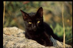 FireClan - If You Are A Warrior Cat Fan, This Is The Site For You I try hard to find pure black cats that do not look a like. Pure black cats are beautiful and they need love like any other cat needs love. They are not evil. They are lucky cats. Love is unconditional and so are they. The Incensewoman
