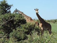 3 Nights 4 Days Masai Mara and Lake Nakuru Safari.email info@africahomeadventure.com (Travel & Tickets - Other Travel Ads)