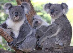 :) A Koala family photo for the World from Australia