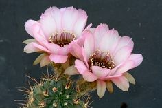 Lobivia jajoiana cv. anemone