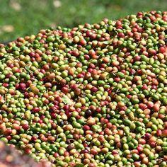 Tours Around Antigua Guatemala - Coffee Plantation Tour at Finca Filadelfia