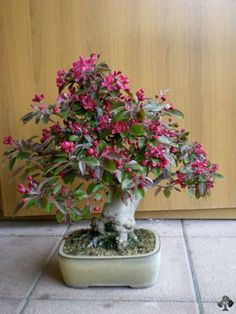 Bonsai Apple Tree #bonsai. Amazing Flowers & Fruits...