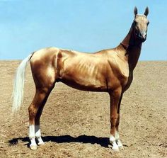 Like gold! Akhal Teke Like gold! Akhal Teke Horses, Breyer Horses, All The Pretty Horses, Beautiful Horses, Cute Horse Pictures, Golden Horse, Majestic Horse, Cute Horses, Palomino