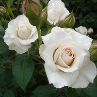 white rose dove - Google Search