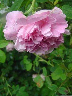 Blush Dasmak est un rosier ancien, aux fleurs de 7cm, doubles, très parfumées, variant du rose clair au lilas. Floraison unique, assez courte, en juin-juillet. Rosier vigoureux, au port lâche et arqué, avec un feuillage vert clair résistant aux maladies. Rosier gallique d'origine britannique, 1759.