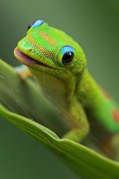 Oh how I want one!!:3 phelsuma laticauda