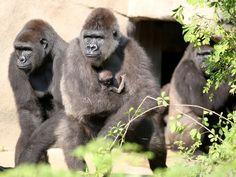Mother Anju holds her baby gorilla during their first