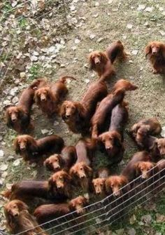 It's like I've gone to heaven! ... until I sit down on a couch and am stampeded by 20 dachshunds ...
