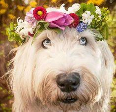 Adorable Old English Sheepdog
