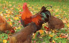 Der Stillzwerg : Unsere Freilandhühner, Garten, eigene Hühner, Hahn,