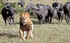 Un león huye del acoso de una manada de búfalos en el Masai Mara National Reserve, Kenya (Laurent Renaud, 2015)