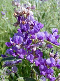 WILD ALFALFA  Riley County, Kansas Perennial Height: 1-4 feet Family: Fabaceae - Bean Family Flowering Period:  May, June, July