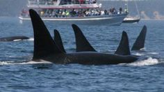 What's Stressing Orcas Out? Think Portion Size · Oregon Public Broadcasting · EarthFix