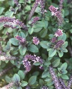 Deep purple stems blue green leaves and lavender flowers african mountain magic basil edibleflowers pollinatorgarden ediblegarden mightylinksfo