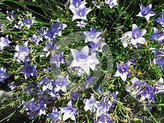Photo about A lot of beautiful blue bells flowers, ideal for floral background. Image of stem, cape, outdoor - 105435477 Blue Bell Flowers, Blue Bells, Victoria, Floral, Garden, Plants, Photos, Image, Beautiful