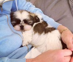 Shih Tzu Puppies: Adorable Pictures And Facts Shih Tzus are true companion dogs. Bred for centuries to be man's best friend, it is no wonder that Shih Tzu puppies are among the most popular of tiny breeds. Shih Tzus, Shih Tzu Hund, Shih Tzu Puppy, Baby Shih Tzu, Shitzu Puppies, Cute Puppies, Cute Dogs, Dogs And Puppies, Doggies