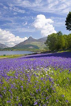 Wild bluebells beside Loch Leven, the Pap of Glencoe beyond.  ༺✿༺  Ballachulish, Highland, Scotland.