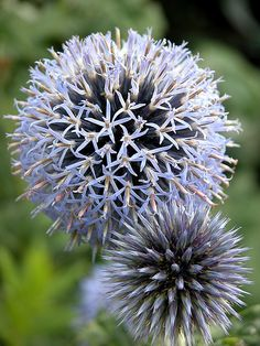 Echinops ritro (globe thistle)  is a bee & butterfly magnet. Beautiful ball-shaped flower heads start out a greenish-silver & blossom into this steel blue colour seen here. Keeping their architectural interest up until it's time to harvest their abundant seeds in the fall. Their foliage is a metallic silver-green with thorns.  Original plants sown(w/s) March 2010