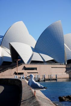 Sydney Opera House seagull by Alberto OG, via Flickr Opera House, Sydney, Building, Buildings, Opera, Architectural Engineering