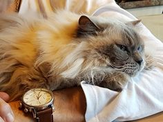 Gold Watch, Cats, Animals, Gatos, Animales, Kitty Cats, Animaux, Animal Memes, Cat Breeds
