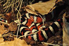 arizonska planinska kraljevska zmija