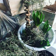 Straks mogen ze in het hooi komen spelen! :-) En ook al is het koud en fris als seffens de zon komt piepen zijn we helemaal in Lente-mood!  #workshop #birdfeeding #flowers #bulbs #hyacinth #spring #decoration #outdoordecor #lowbudget #bakjevollente #knollen #hooi #klei #takken #mos #mezenbollen #potenpapaver #sunshineday #heverlee #leuven