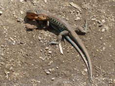 Panajachel. Fighting Lizards. Guatemala.