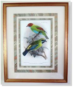 Antique,Bird,Print,Litho-J. G. Keulemans Ibis Ornithology-Tangers-1901 Framed #Vintage114yearsold