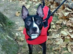 TO BE DESTROYED 11/16/13 Manhattan Center P LANCE #A0984389 MALE BLACK PIT BULL MIX 2 YRS STRAY 11/8/13 This handsome guy w/ the rabbit ears is happy energy. Friendly & social. Likely housetrained, alert & inquisitive. A little jumpy & mouthy @ times, but responds to correction. Greeted dogs of all sizes w/ friendly tail wags. Some food gulping when food dish is moved-common for strays, retrainable! W/ proper exercise & love he'll be an amazing companion.