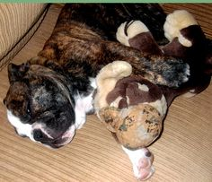 Jazz with his stuffed bulldog toy