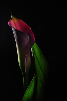 Cala Lily by Bill Gracey Exotic Flowers, Amazing Flowers, Beautiful Flowers, Beautiful Things, Calla Lillies, Calla Lily, Flower Images, Flower Art, Trees To Plant