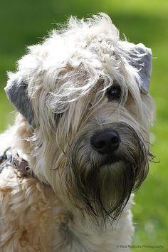 Re: Soft Coated Wheaten Terrier
