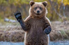 A photographer gets a great photo-and a wave-from an Alaskan bear